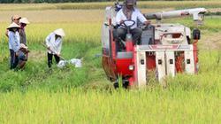 Mưa liên miên, giá lúa giảm, nông dân mất lời