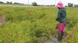 Tây Ninh: Giá ớt chỉ thiên lên 100 ngàn/ký, dân hái không kịp bán