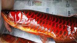 Bí ẩn chuyện về cá huyết rồng vảy đỏ như máu nặng nửa tạ ở Biển Hồ