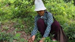 Đùm cơm đi mót loài hoa thơm lừng ở các cánh rừng Lạng Sơn