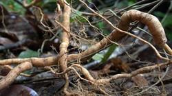 Rừng sâm ba kích tím mới phát hiện ở Quảng Nam khủng và quý cỡ nào?