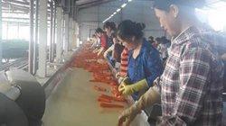 Góp đất với doanh nghiệp, nông dân xứ Thanh đưa cà rốt xuất ngoại