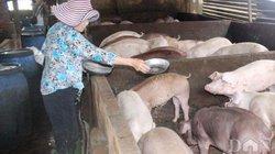 Sâu keo mùa thu, dịch tả lợn châu Phi đe dọa nông nghiệp Tây Ninh
