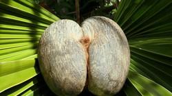 """Đỏ mặt loại dừa """"độc nhất vô nhị"""" thế giới giống hệt vòng ba phụ nữ"""