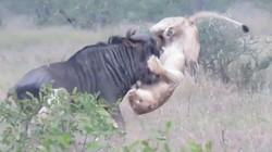 Săn mồi bần cẩn, sư tử bị linh dương đầu bò húc trọng thương