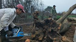 Bỏ lúa trồng hoa đào, nông dân Thường Tín có thu nhập mơ ước