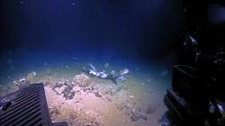 Video: Khoảnh khắc cá mập bị quái vật biển sâu nuốt trọn ở độ sâu 450m