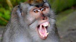 Khoảnh khắc bầy khỉ đánh úp bất ngờ, quật ngã người đàn ông