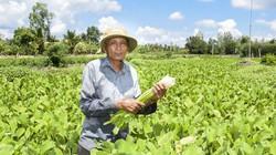 Sóc Trăng: Sống khỏe re nhờ trồng loài rau dại tốt ngời ngời