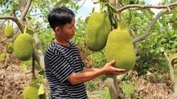 Cục Trồng Trọt lên tiếng cảnh báo việc dân trồng ồ ạt cây mít Thái