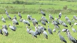 Quảng Trị: Xuất hiện đàn chim di cư lạ to như con ngỗng mới lớn
