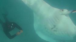 Video: Kinh ngạc khoảnh khắc cá đuối khổng lồ cầu xin thợ lặn giúp đỡ