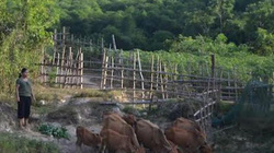 Nghệ An: Nắng nóng gay gắt, đồng khô cỏ cháy, lo trâu bò chết đói