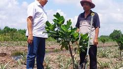 Bất ổn số phận cây mít Thái và điệp khúc trồng - chặt theo thời giá