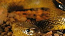 5 loài rắn có nọc độc mạnh nhất thế giới tự nhiên