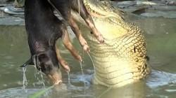 """Rùng mình cảnh tượng cá sấu ngậm con mồi """"khoe"""" chiến lợi phẩm với du khách"""