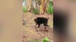 Video: Hổ mang chúa kịch độc tử chiến với chó nhà, một con phải bỏ mạng