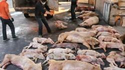 TT-Huế: Mỗi ngày có 1.300 con lợn chết vì dịch tả, giá xuống thấp