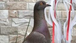 Choáng với chú chim bồ câu Indonesia có giá bán lên tới 2 tỷ đồng