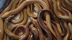 An Giang: Hồ hởi với nuôi lươn không bùn công nghệ...dày đặc