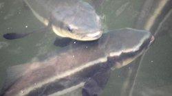 """5.000 con cá bớp ở đầm Cù Mông hễ thấy người là """"nhõng nhẽo"""" đòi ăn"""