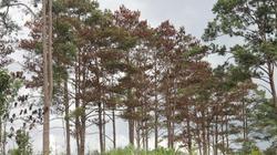Lâm Đồng: Hàng trăm cây thông lại bị đầu độc, chết đứng
