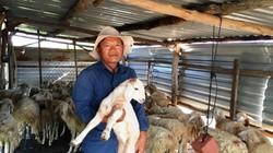 Tỷ phú du mục chăn cừu trên vùng thảo nguyên khô hạn Ninh Thuận