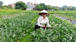 Thương lái tới tấp mua dưa hấu, dân Bắc Giang lãi 11 triệu/sào