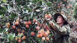 Ngắm vườn chôm chôm cho hàng chục tấn quả, thu bạc tỷ ở Gia Lai