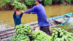 Kiên Giang: Cây chuối khai phá đất phèn, dân ở đây khá giàu