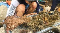 """Chuyện chưa biết về """"biệt đội đặc biệt"""" chuyên... cứu hộ san hô"""