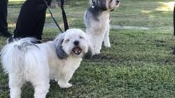 Một phụ nữ thoát khỏi bị tấn công tình dục nhờ 2 chú chó nhỏ dũng cảm