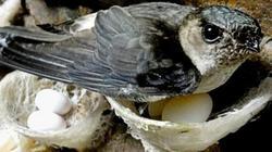 Bức xúc vì tiếng ồn, Tây Ninh tăng kiểm soát nuôi chim yến tự phát