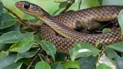 Ấn Độ: Đang nghỉ ngơi bị rắn cắn, nổi điên cắn nát con rắn