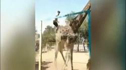 Say xỉn, người đàn ông làm điều điên khùng với hươu cao cổ trong vườn thú