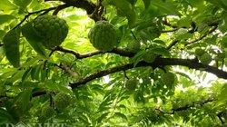 Mùa na tiền tỉ trên đất Mai Sơn, giá bán tại vườn 50.000 đồng/kg