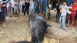 Khánh Hòa: Phát hiện xác cá voi nặng hơn 2 tấn, dài 6m dạt vào bờ