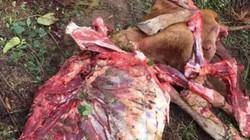 Gia Lai: Kinh hoàng bò mẹ mới đẻ bị trộm xẻ thịt còn trơ bộ xương