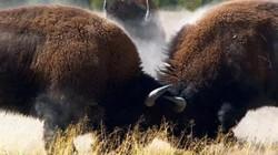 Bò rừng đánh nhau, khách đứng giữa bị húc bay người ở Mỹ