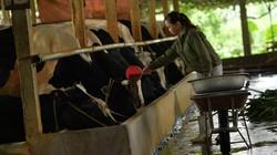 "Clip: Nuôi ""chơi chơi"" 30 con bò sữa mà thu tiền tỷ mỗi năm"