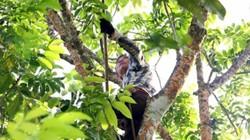 Nghệ An: Dân miền núi í ới gọi nhau đi hái trám đen ngon nức tiếng