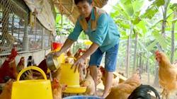 Mỗi năm thu 300 triệu đồng nhờ nuôi thứ gà ri vàng như rơm nếp