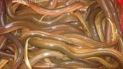 An Giang: Sống khỏe re bởi nghề nuôi lươn đồng trong bể xi măng