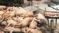 TT-Huế: Dịch tả lợn châu Phi càn quét 560 thôn, giá heo hơi ảm đạm