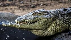 Cá sấu hoang dã tung hoành khu dân cư khiến người dân hoảng sợ