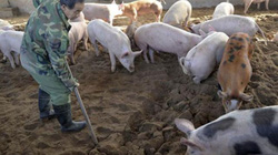 Bộ NN&PTNT hướng dẫn quy trình nuôi lợn an toàn sinh học (phần 2)