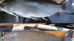 """Bắt được """"cụ"""" cá nước ngọt thọ nhất hành tinh, sống qua hai cuộc chiến tranh thế giới"""