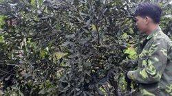 """""""Khai phá"""" miền núi với cây trồng mới: Để mắt tới sấu, trám, mắc ca"""