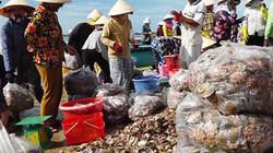 Bình Thuận: Ngư dân trúng hàng tấn sò điệp, nhưng giá giảm thê thảm