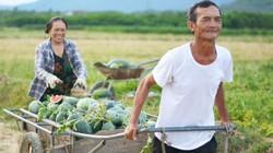 Hà Tĩnh: Giá dưa hấu tăng vọt 15.000 đ/kg, nhiều quả nặng tới 6kg